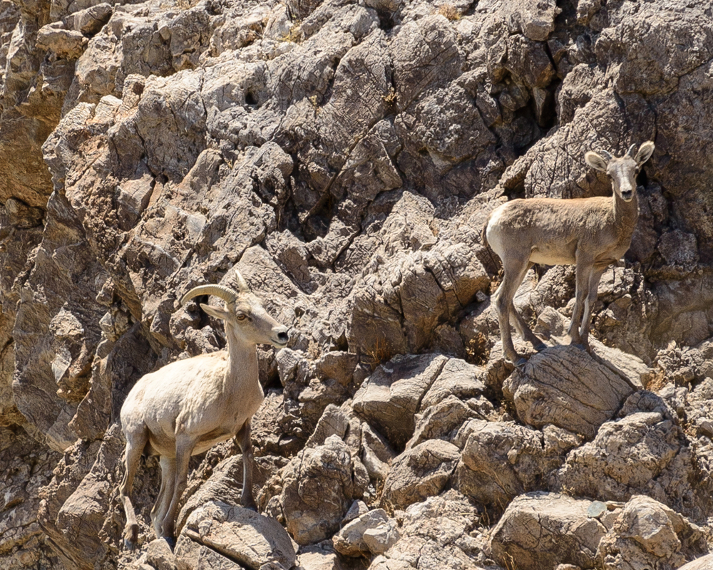 Bighorn sheep in the Mojave National Preserve use natural springs next to the proposed Soda Mountain Solar project.  The project would pump millions of gallons of groundwater for construction and to wash solar panels.