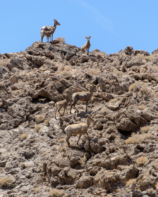 Bighorn sheep inhabit the Soda Mountains along the northwestern boundary of the Preserve.