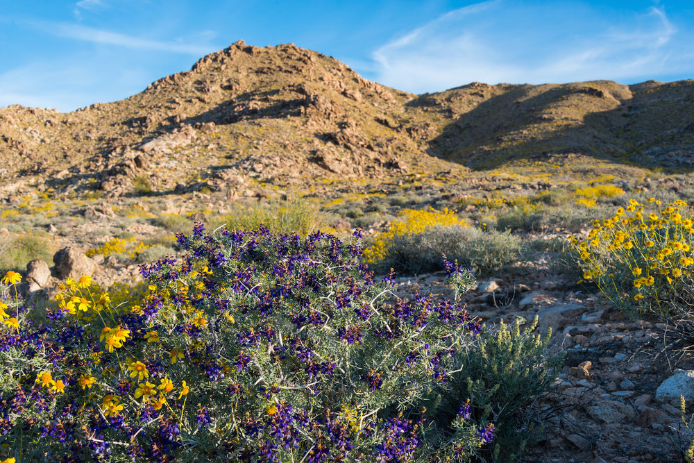 Wildflowers bloom in the Mojave Trails National Monument, which borders the Mojave National Preserve, protects critical wildlife habitat and offers amazing opportunities for camping, hiking and 4x4 touring.
