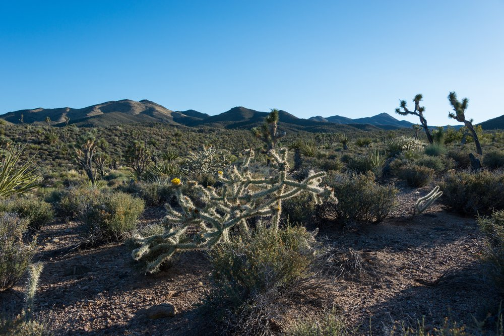 The Crescent Peak area of southern Nevada is part of one of the largest Joshua tree woodlands in the world.