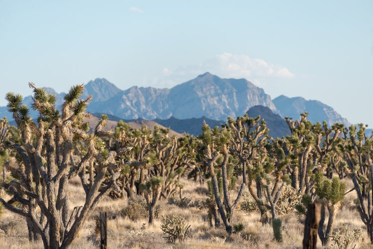 The Mojave National Preserve has more Joshua trees than Joshua Tree National Park!