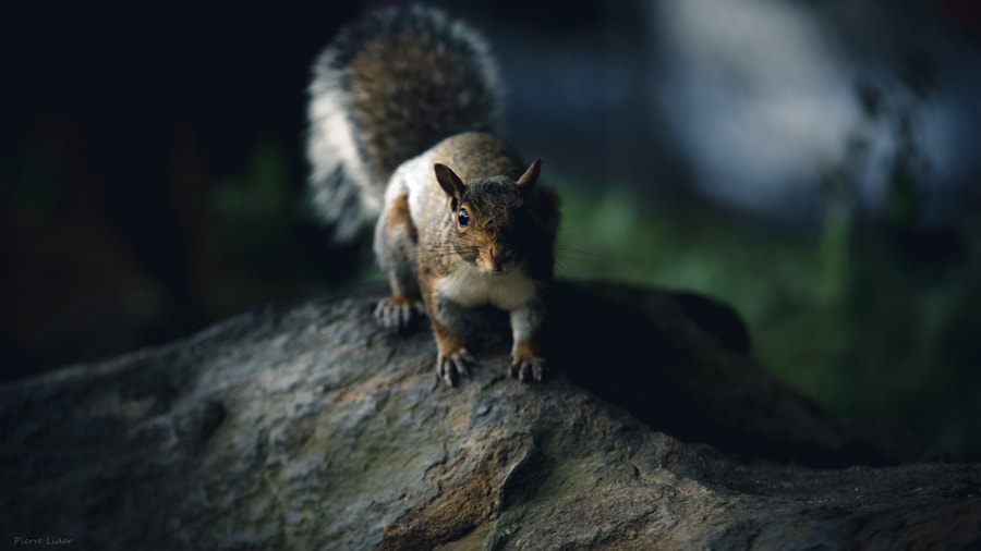 Squirrels of New York