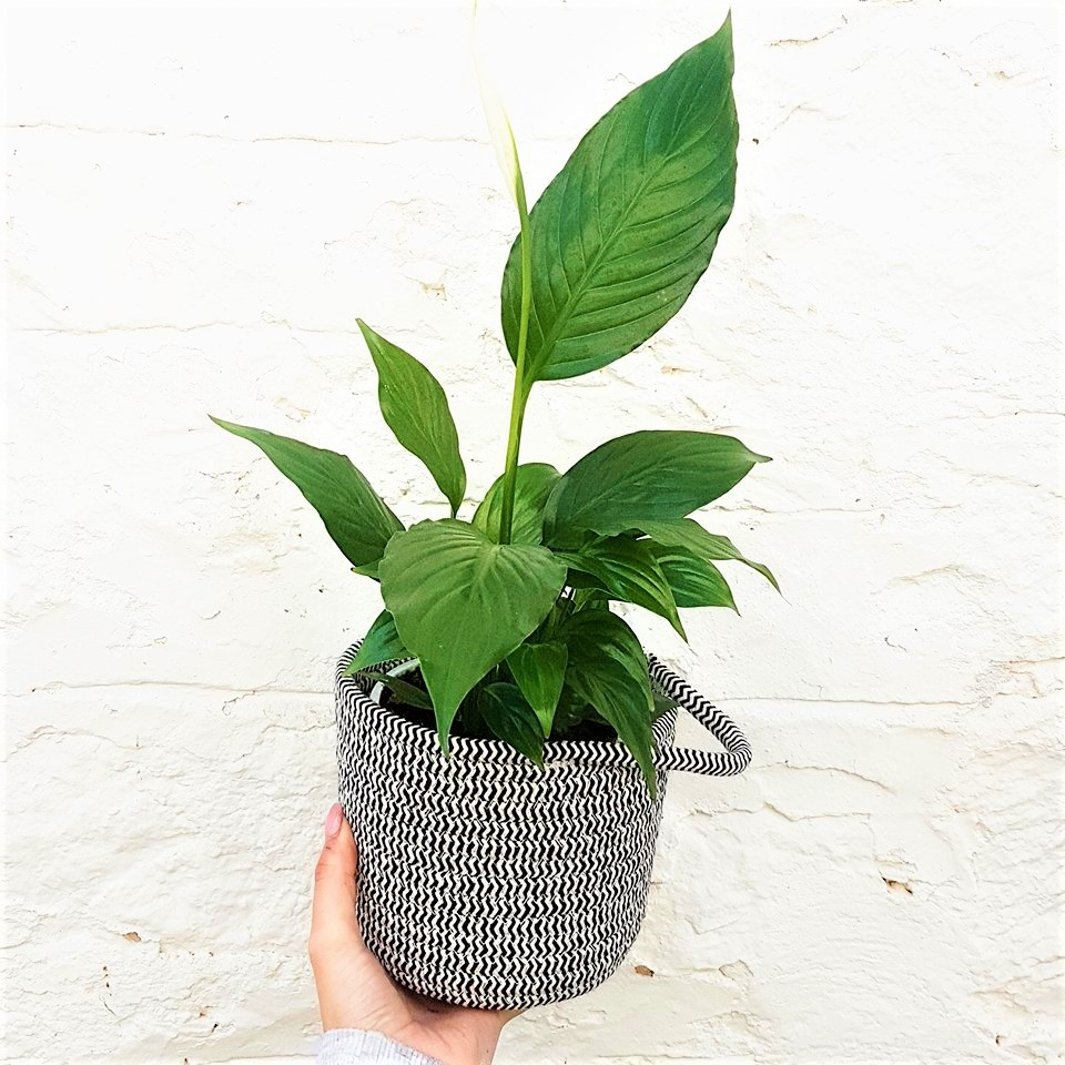 Peace Lily In Woven Pot The Flower Nook