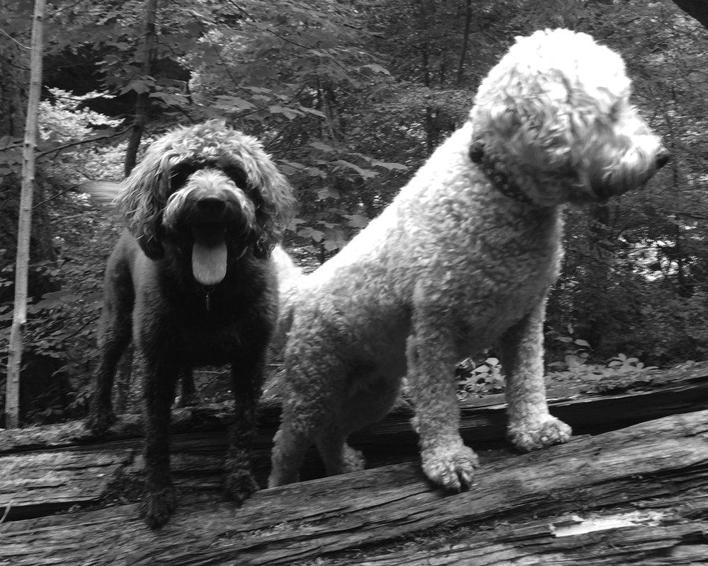 Kelpie-dog-2.jpg