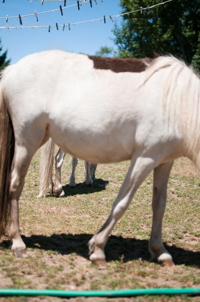 miniature-horses_7552687260_o.jpg