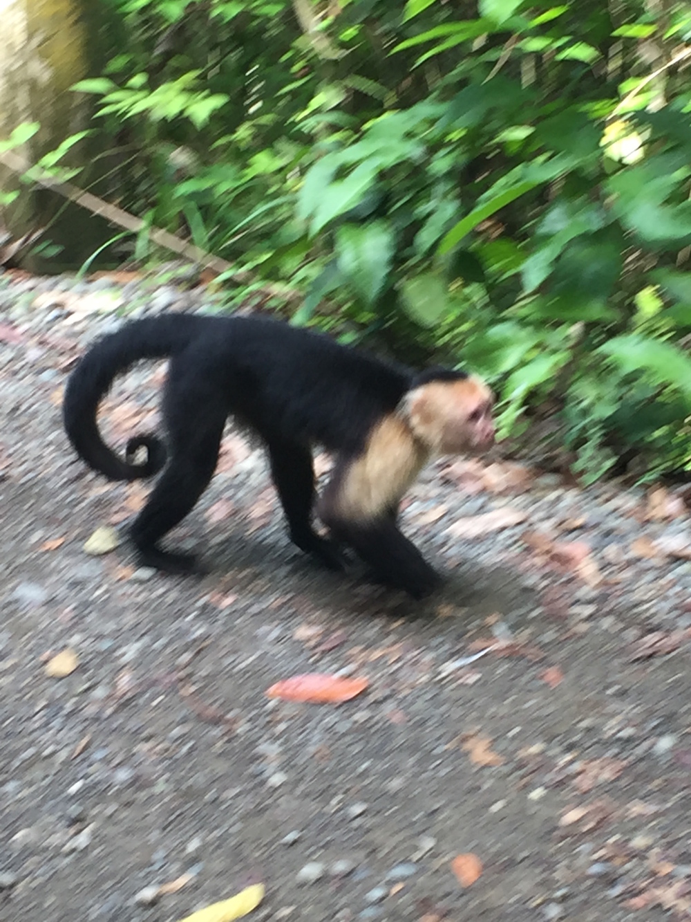 Yep.  Blurry action shot.  This guy was so uninterested in me and so close on our trek through Manuel Antonio national park with our most awesome guide, Bernie Sanchez.  He found three types of monkeys, two types of sloths, and countless other wildlife for us to see firsthand in the jungle.  We also got to see a couple of raccoon bandits lift a zip-locked bag of passports from a man's backpack, prompting a chase.  Gotta respect the animals when you are in the realm of the wild.
