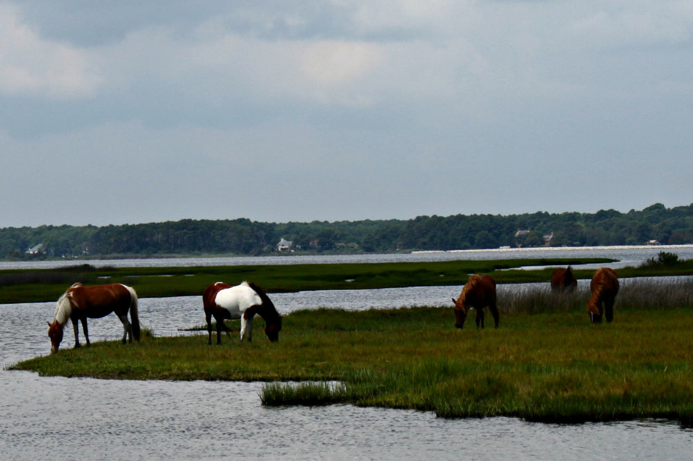 assateague-island-national-seashore-wild-ponies
