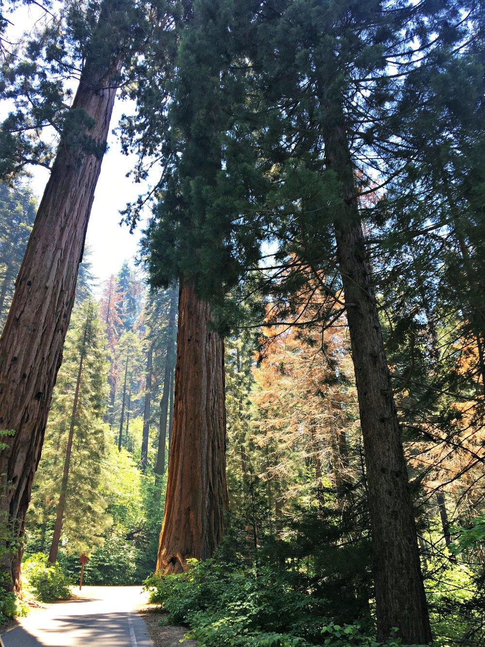 walking among tree giants Sequoia National Park