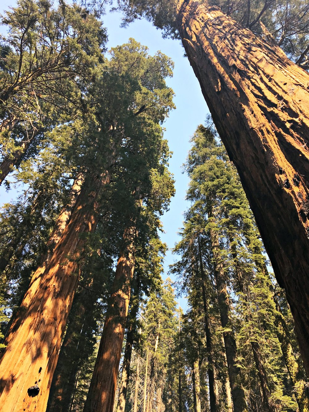 looking up at giant trees Sequoia National Park