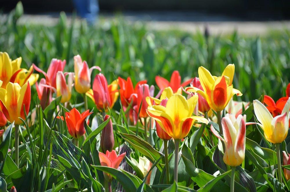 holland-michigan-tulips