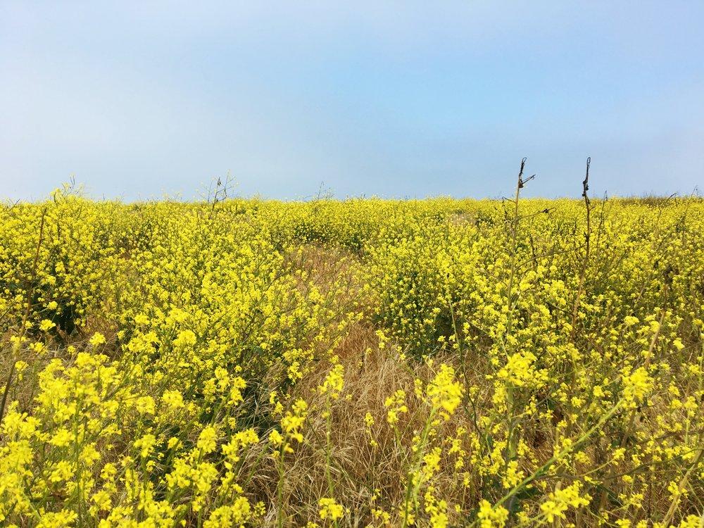 yellow-flowers-channel-islands