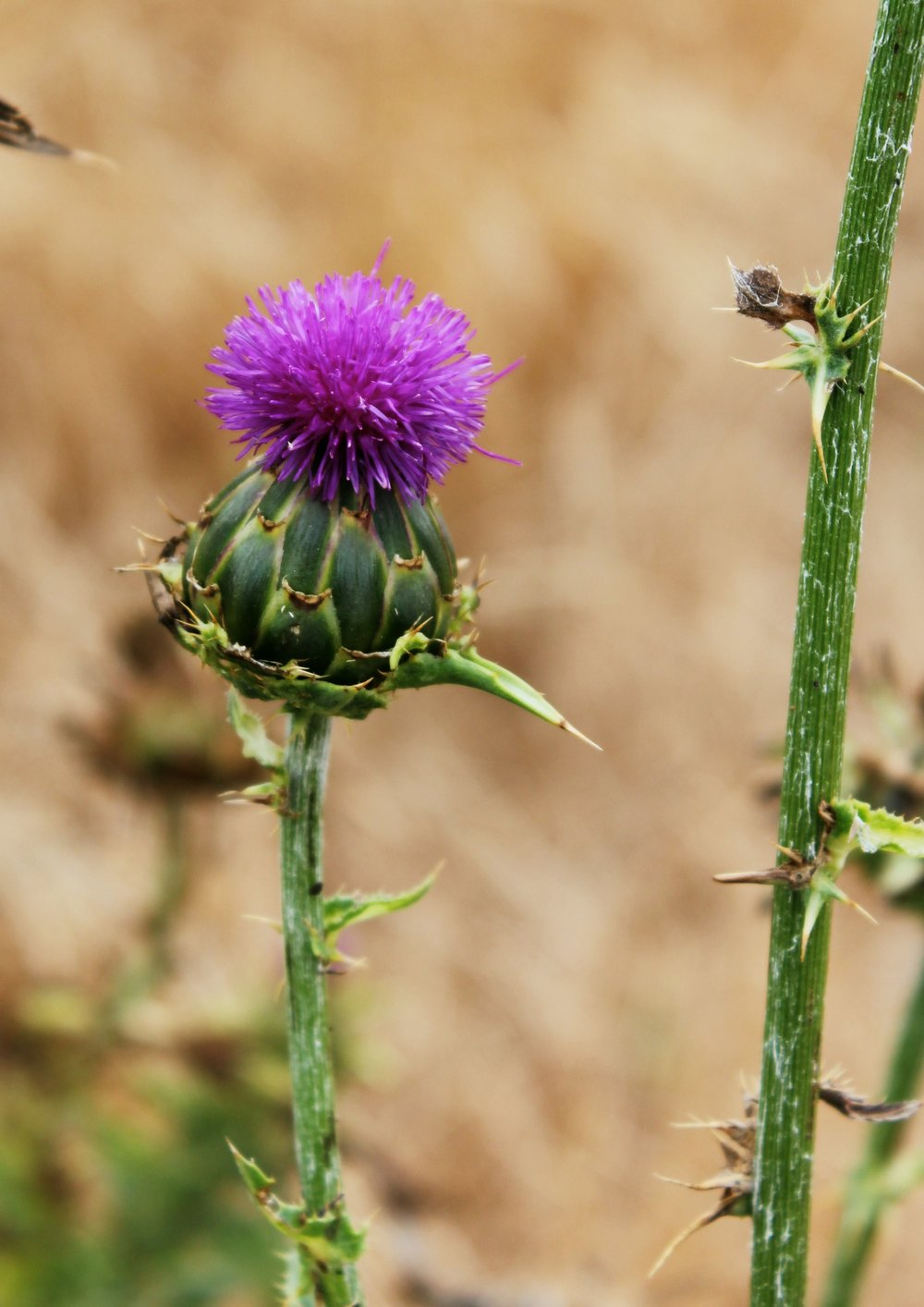 thorny-purple-flower-channel-islands