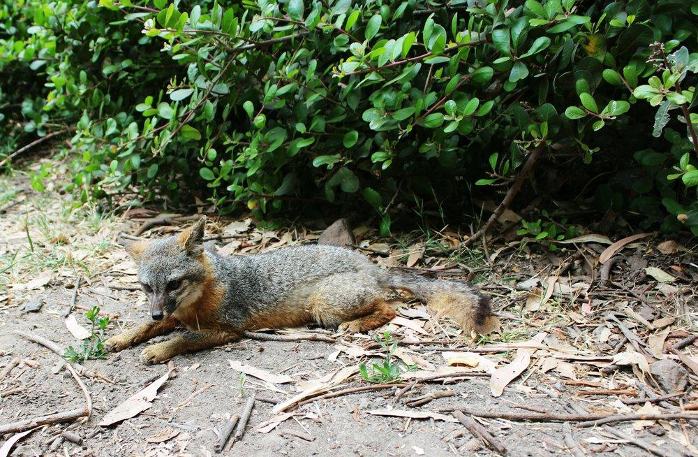 channel-islands-fox