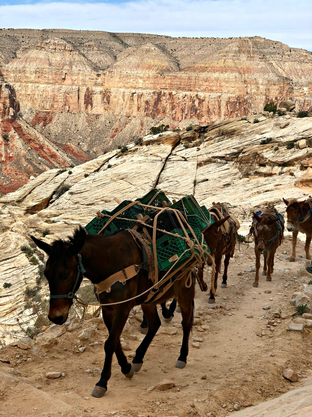 mules on the Havasupai trail