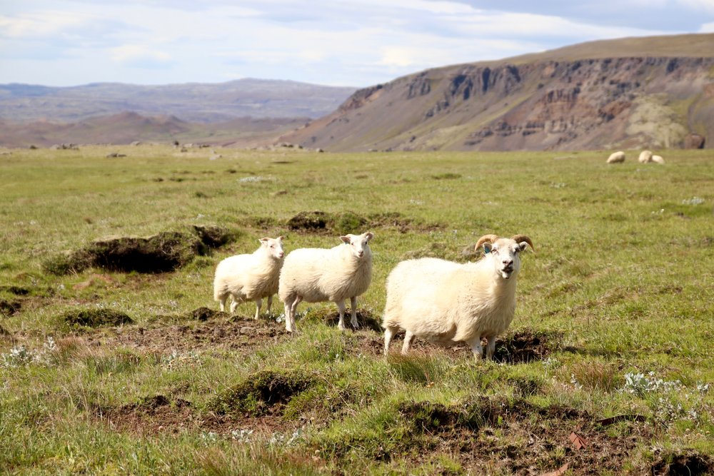Sheep on the Golden Circle, photo by Karen Hinde