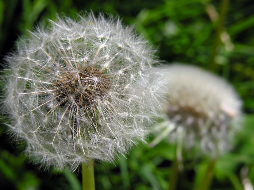 Don't think about all the dandelions; JUST MAKE A WISH!!!   via  pinterest