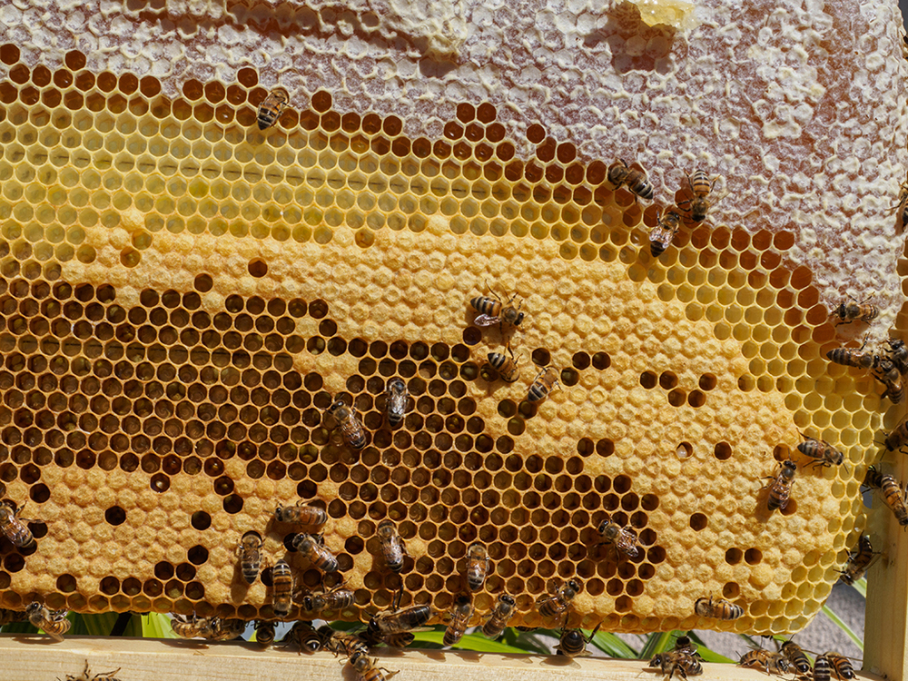 Brood & Capped Honey