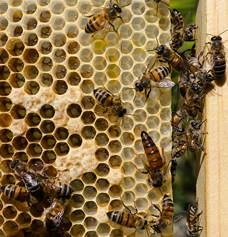 Queen, Eggs, Brood
