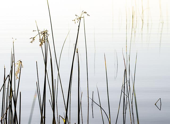 Reeds in Tassle, 25 x 30 Framed, 2017