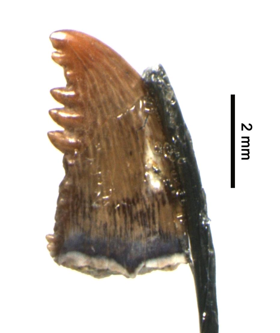 Saurornithoides_Hankla_UCM_38452_1.0x_01.png