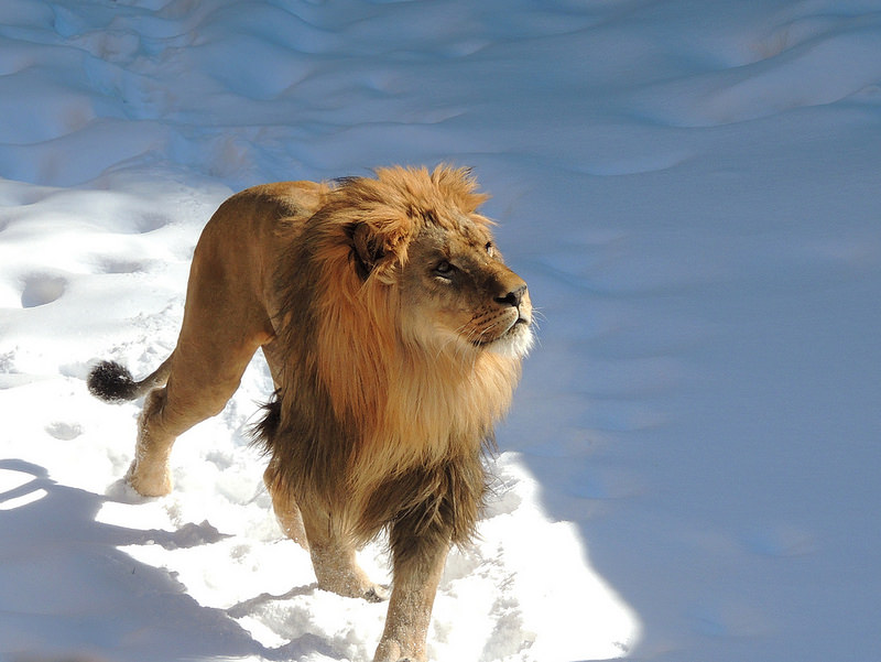 lion in winter.jpg