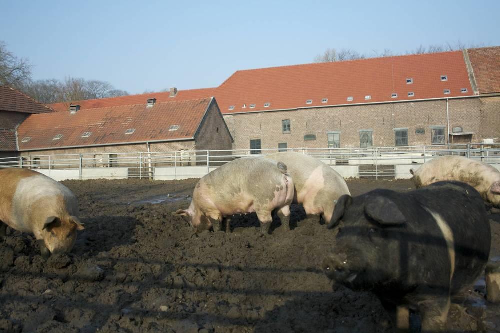 Livar Kloostervarken