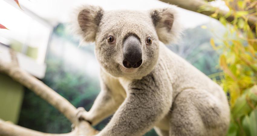 Koala-850-1.jpg