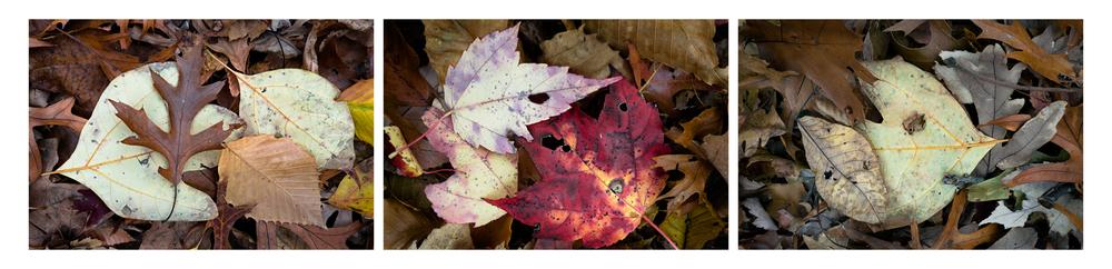 """Fallen Leaf I   3 images, 15"""" x 20"""", 2016"""