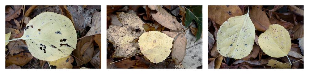 """Fallen Leaf II   3 images, 15"""" x 20"""", 2016"""