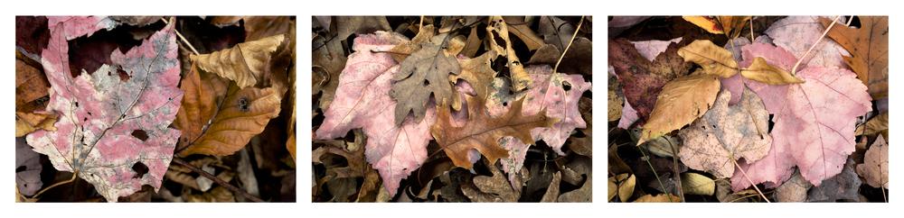 "Fallen Leaf III   3 images, 15"" x 20"", 2016"