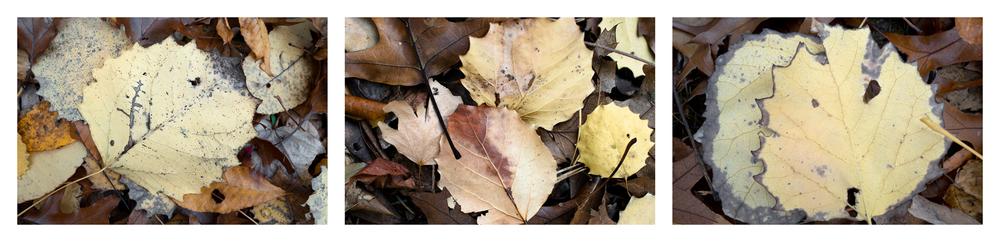 """Fallen Leaf IV   3 images, 15"""" x 20"""", 2016"""