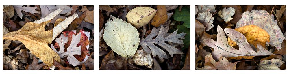 """Fallen Leaf V   3 images, 15"""" x 20"""", 2016"""