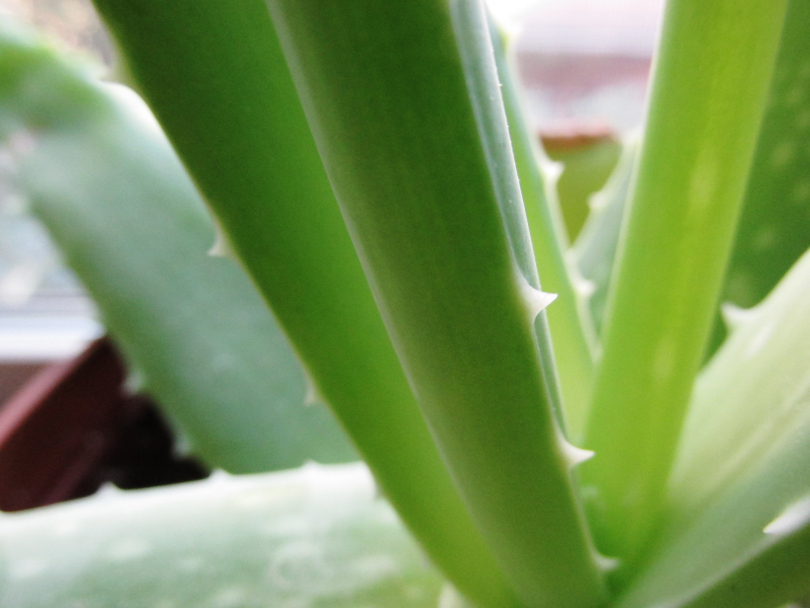 harvesting aloe | seekthewelfare