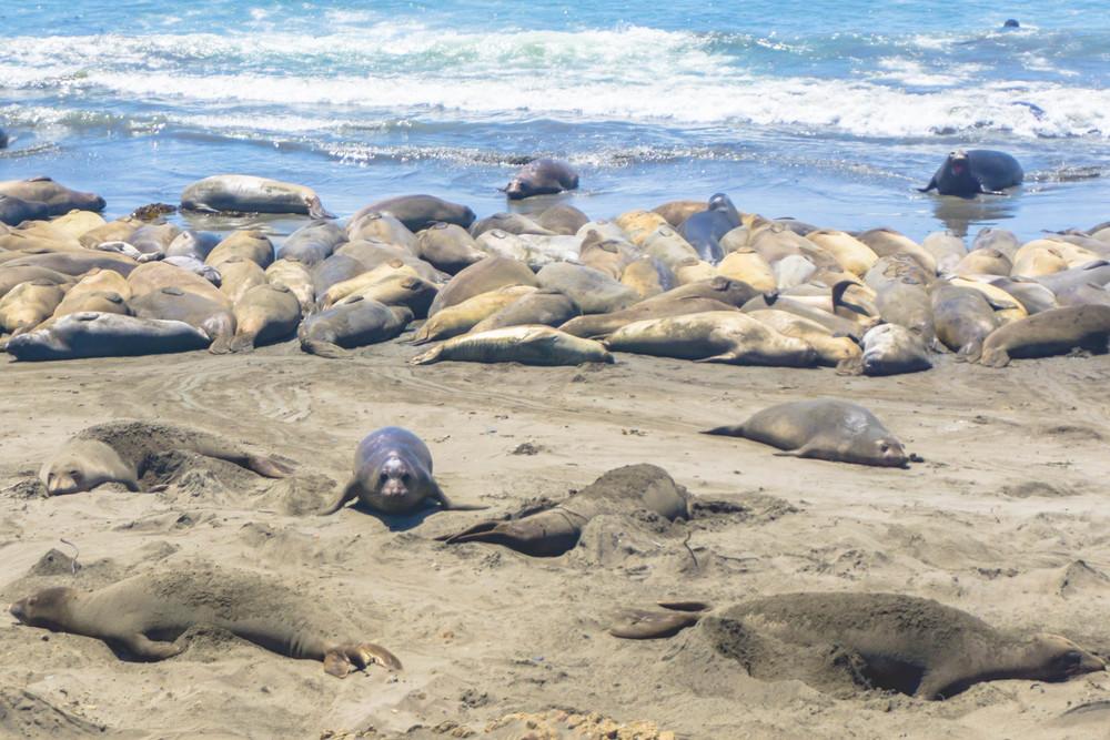 elephant seal big sur
