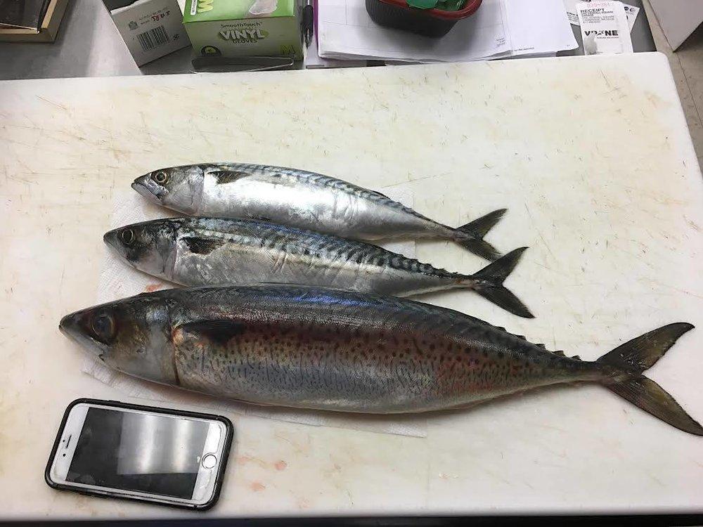 Mackerel from New England(Atlantic Ocean)ヨーロピアン鯖 Mackerel from New Zealand(Pacific Ocean)