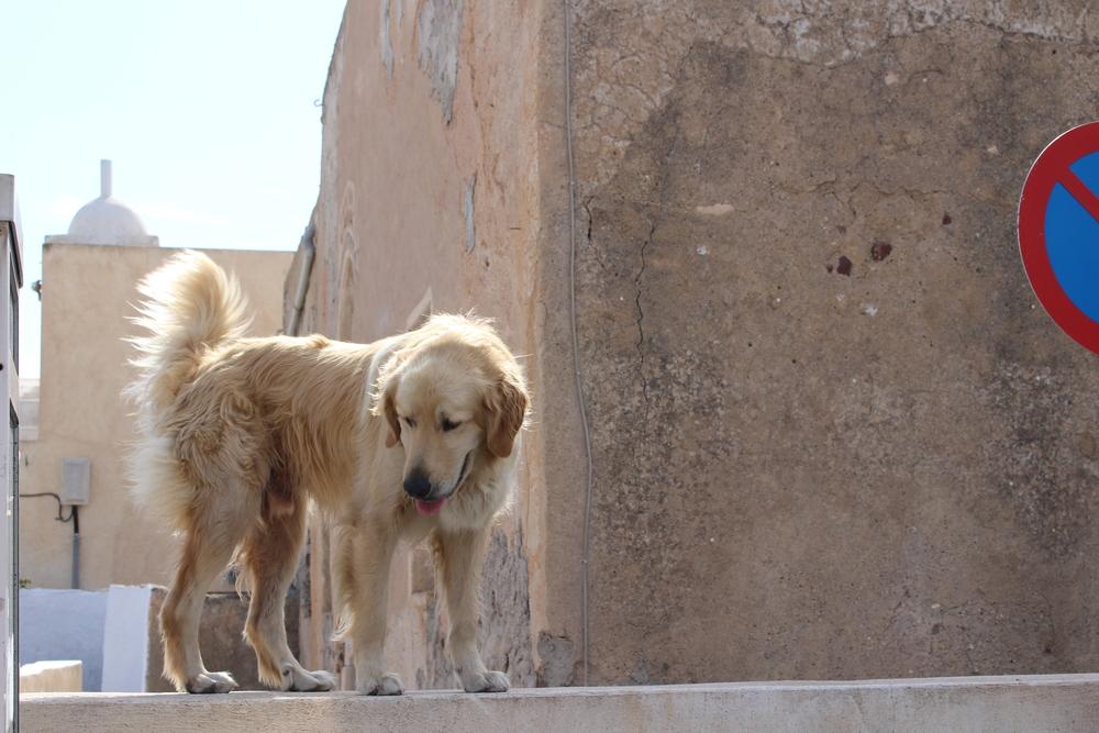 Stray dog, Santorini, Greece