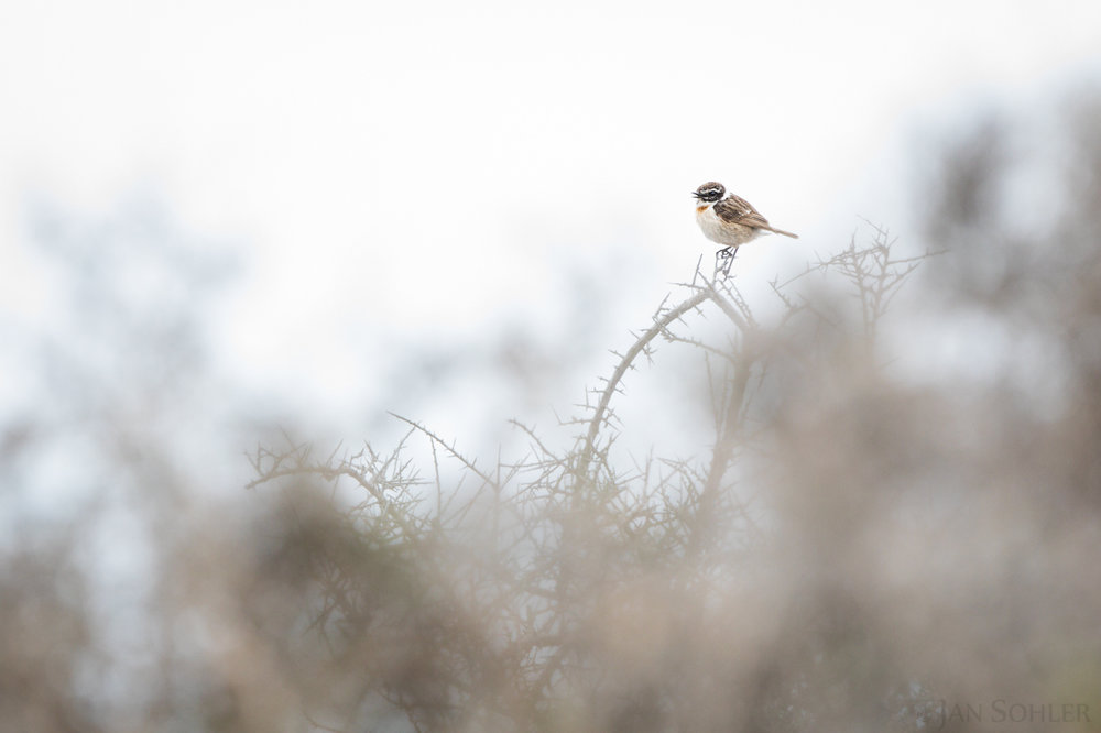 Canary Islands Stonechat | Kanarenschmätzer