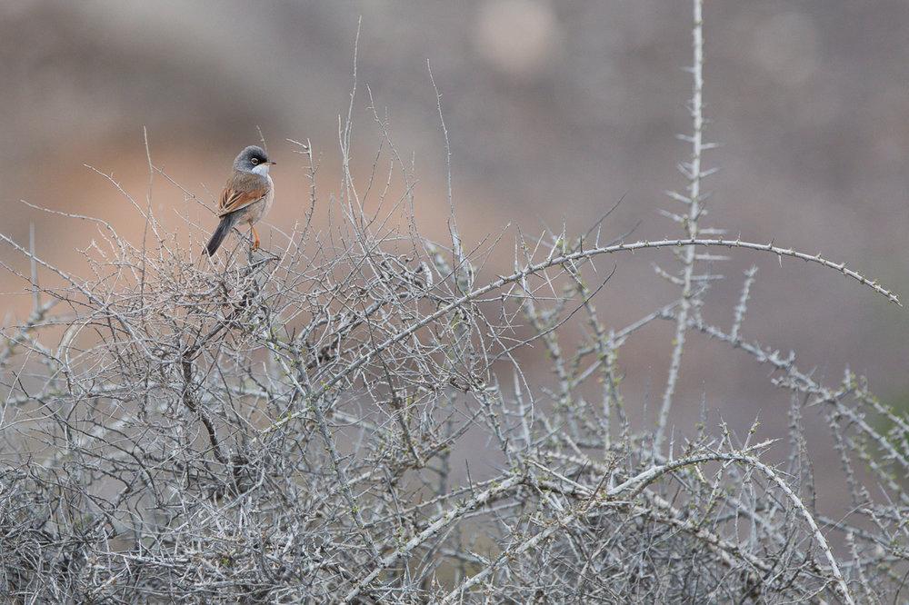 Spectacled Warbler | Brillengrasmücke