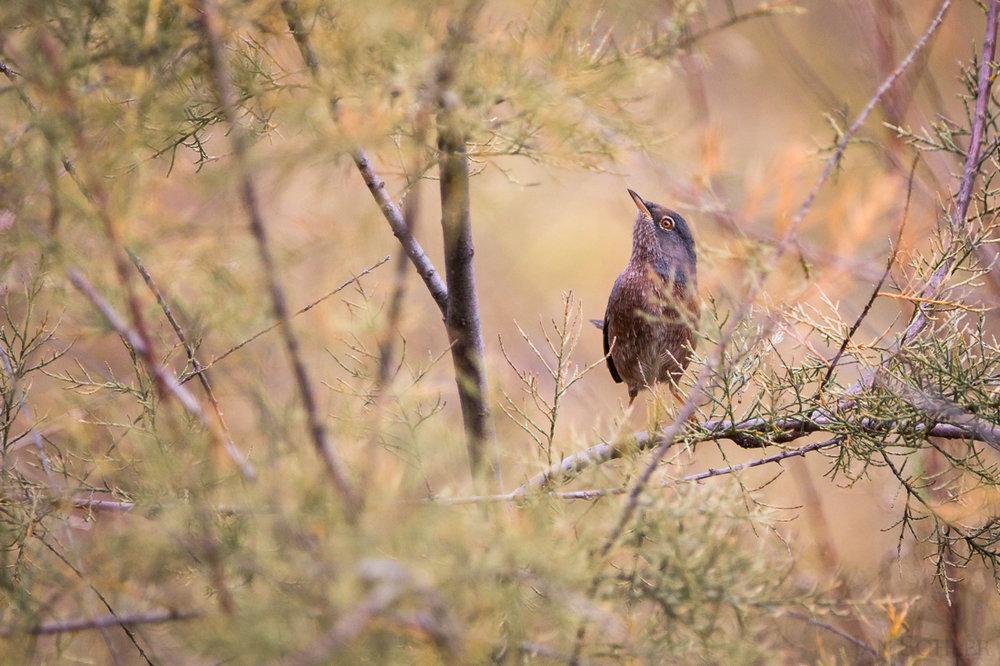 Tristram's Warbler | Atlasgrasmücke