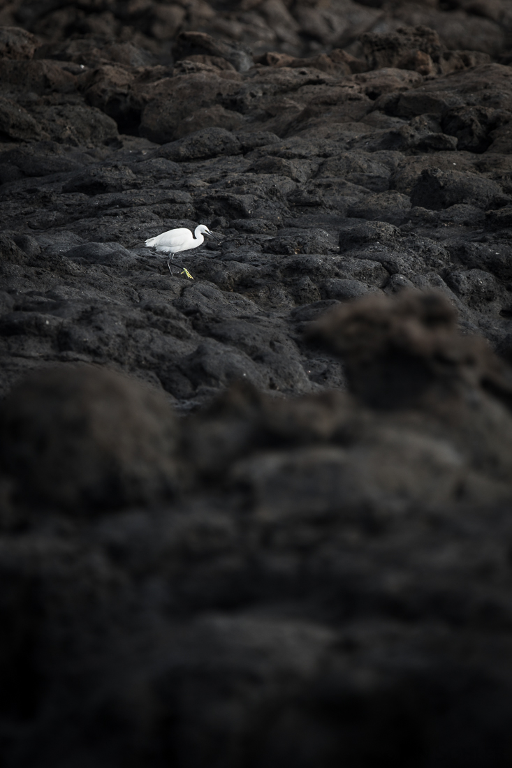 Little Egret | Seidenreiher