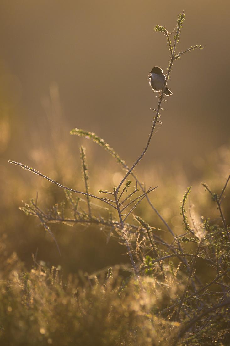 Sardinian Warbler | Samtkopfgrasmücke