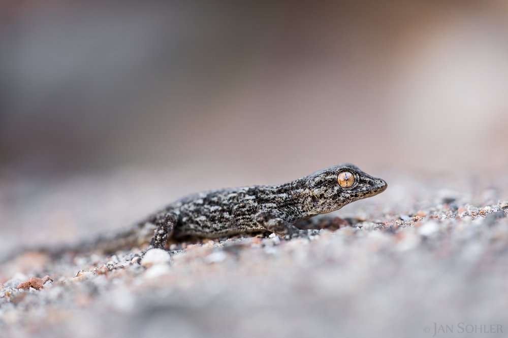 Eastern Canary Gecko | Östlicher Kanarengecko