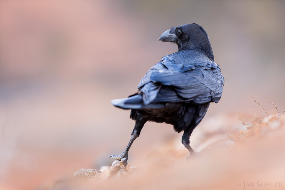 Raven | Kolkrabe