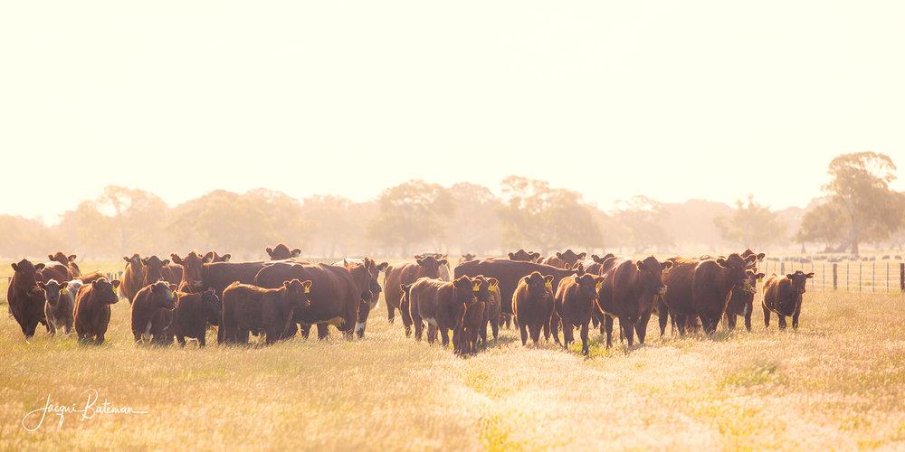 JacquiBatemanPhoto Shorthorns.jpg