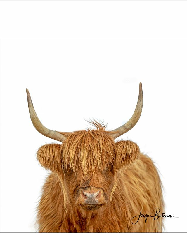 Continuing the theme of all things hairy, is my latest version (well, two versions) of Heather.  I've been playing around with this one for a week or so.  I'm torn.  Do I like the black and white?  Or the colour?  Let's take a vote. Come at me with your favourite. #highlandcow #highlandcoo #hairycoo #jacquibatemanphotography #limestonecoastphotographer