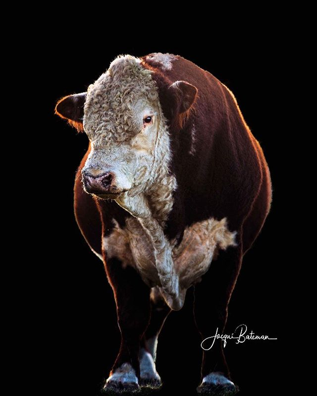 #herefordbullonblack #herefordboss #hereford #herefordcattle #herefordbull #australianagriculture @herefordsinsa @thegrazierswife @bellskelpies @herefords_australia @beefaustralia ustralia #beef #beefcattle #jacquibatemanphotography #limestonecoastphotographer #livestockphotography #fineart #animalphotography #hoovesandhorns