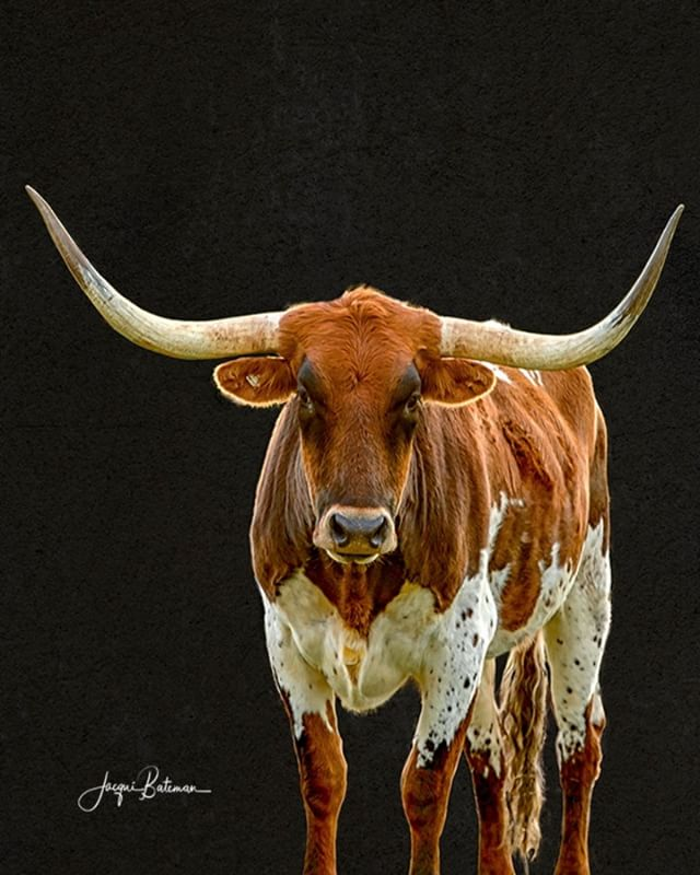 This one will be the last in this series for a bit.  Must be the reason for the long face.  After some searching, I found me a Texas Longhorn.  They're not the prettiest of breeds, but they sure do have a good dose of character.  You know how I like to name my beasts but I might need some input for this one.  I'm tossing up between Hand and Gringo - can't decide.  If you want to have your two bob's worth, comment on a name for this gnarly dude.  #jacquibatemanphotography #jacquibateman #ruralphotographer #ruralphotography #legacyoftheland #robephotographer #limestonecoastphotographer #rural #farm #australia #southaustralia #agriculture #cattle #cow #wildwest #australianagriculture #farmlife #texas #longhorn #longhorns #texaslonghorns #cattleofinstagram #horns