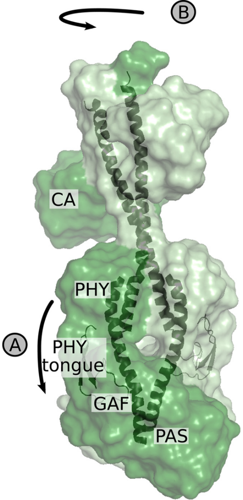 Structural change of full-length bacterio-phytochrome resolved.