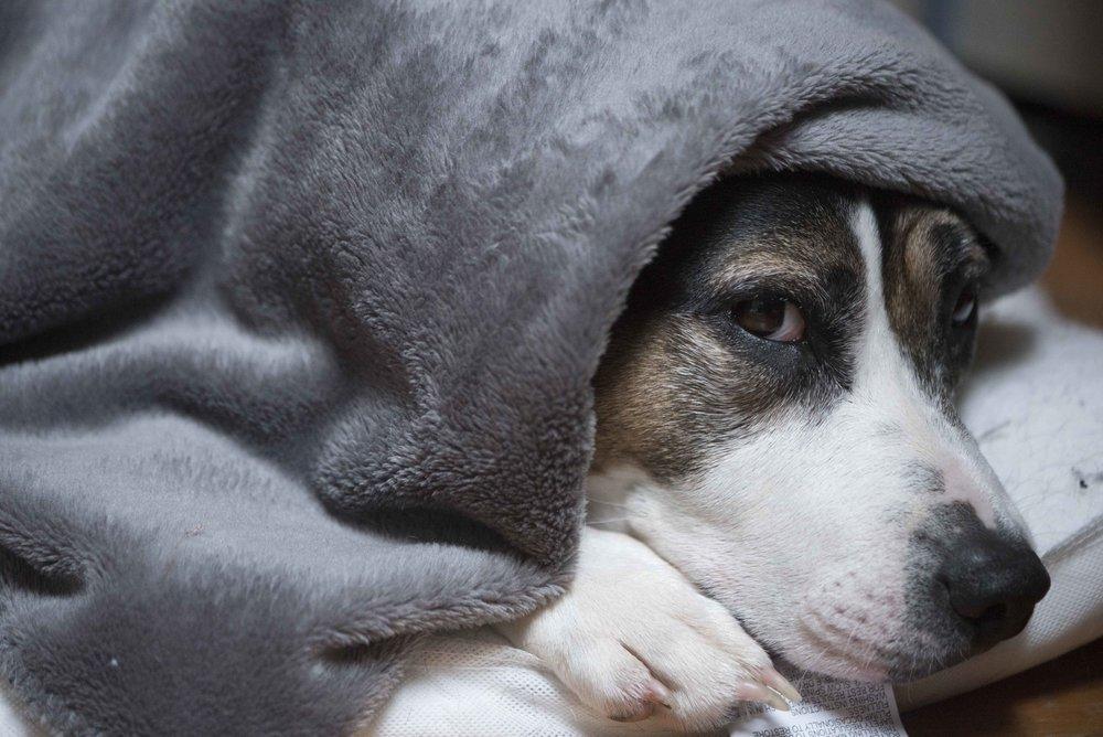 Dog hiding under blanket for web.jpg
