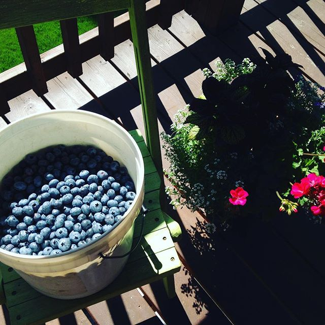 Bushwhacking is tricky with a two gallon bucket of blueberries but these babies were worth the effort!